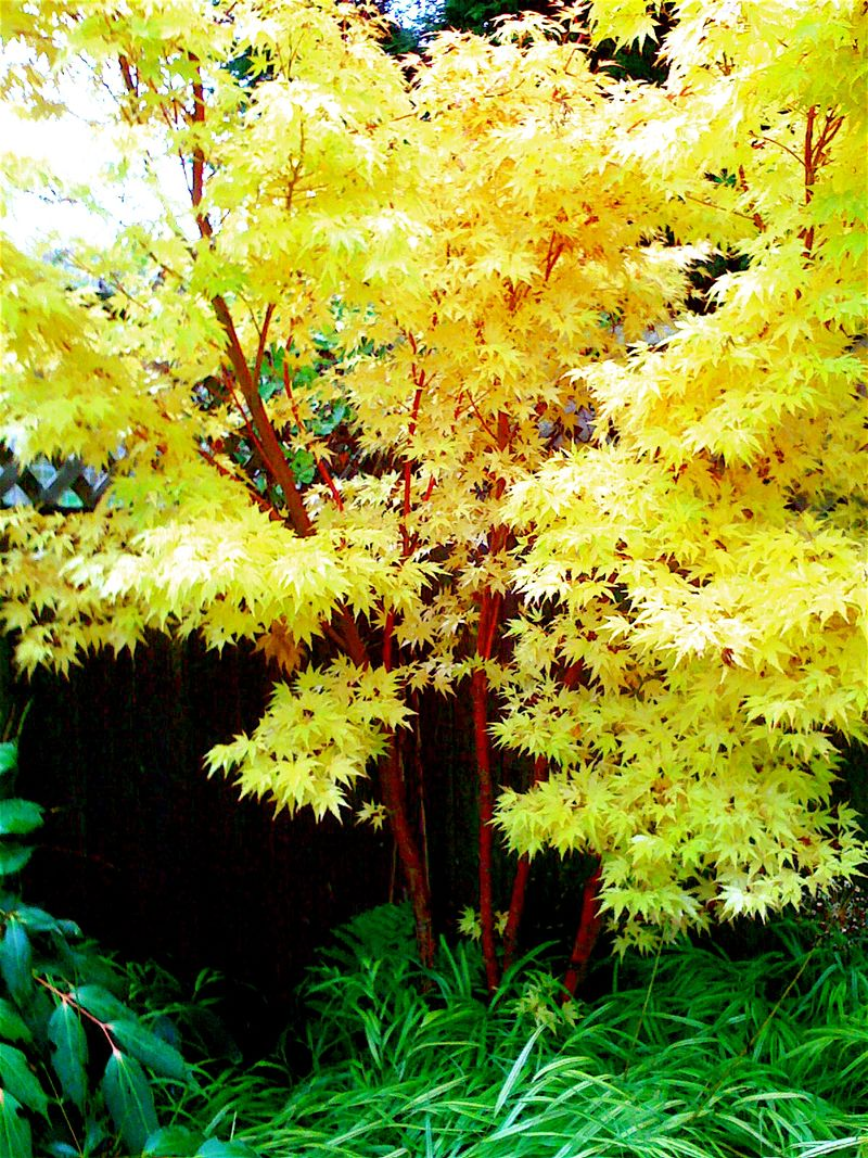 How to get year round interest in your garden with coral for Small trees for japanese garden