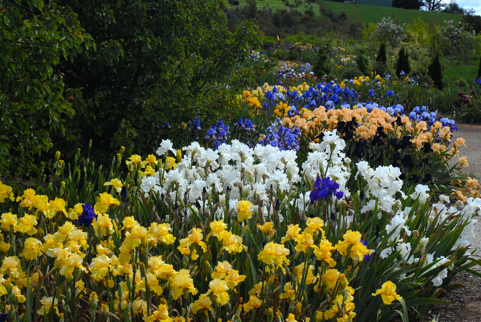 Growing Irises All Season Long Garden Design For Living