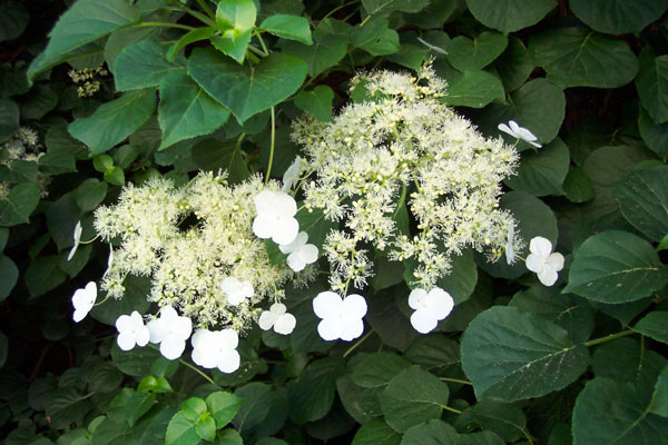 climbing hydrangeas garden design for living. Black Bedroom Furniture Sets. Home Design Ideas