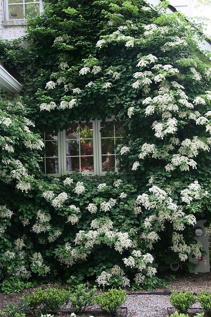 Climbing Hydrangeas Garden Design For Living