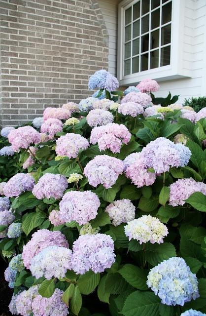bigleaf hydrangeas hydrangea macrophylla garden design. Black Bedroom Furniture Sets. Home Design Ideas