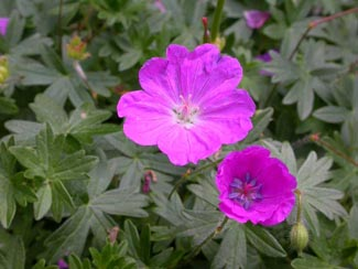 Childs Geraniums from my 1908 John Lewis Childs Rare Flowers seed and ...
