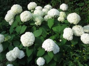 Hydrangea aborescens 'Annabelle'