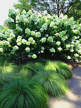 pee gee hydrangeas hydrangea paniculata garden design. Black Bedroom Furniture Sets. Home Design Ideas