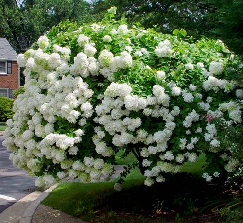 pee gee hydrangeas hydrangea paniculata garden design. Black Bedroom Furniture Sets. Home Design Ideas
