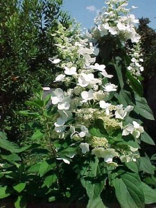 A flower head of Hydrangea paniculata 'Tardiva'