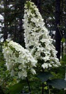 oakleaf Hydrangea quercifolia 'Snowflake'